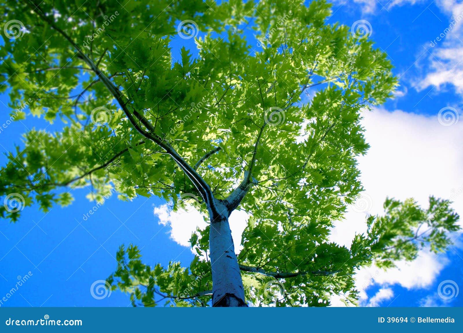 Tree för blå sky