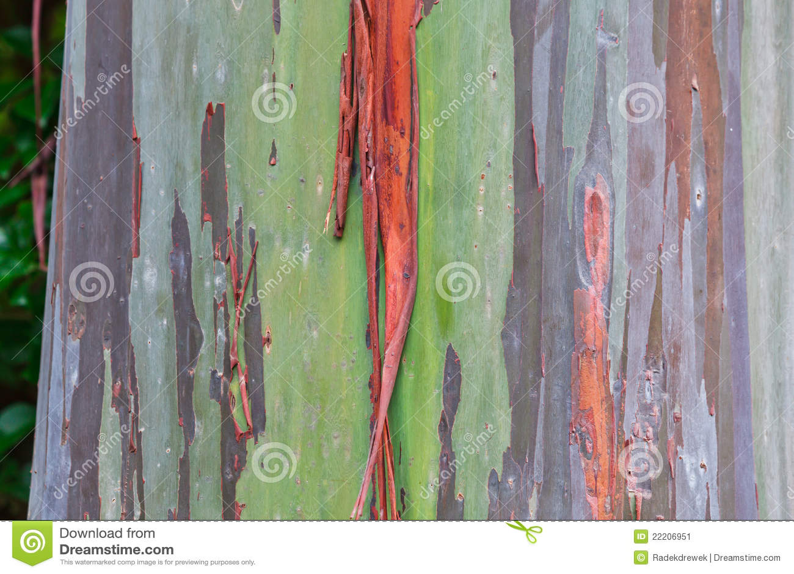 Tree för eucalyptushawaii regnbåge