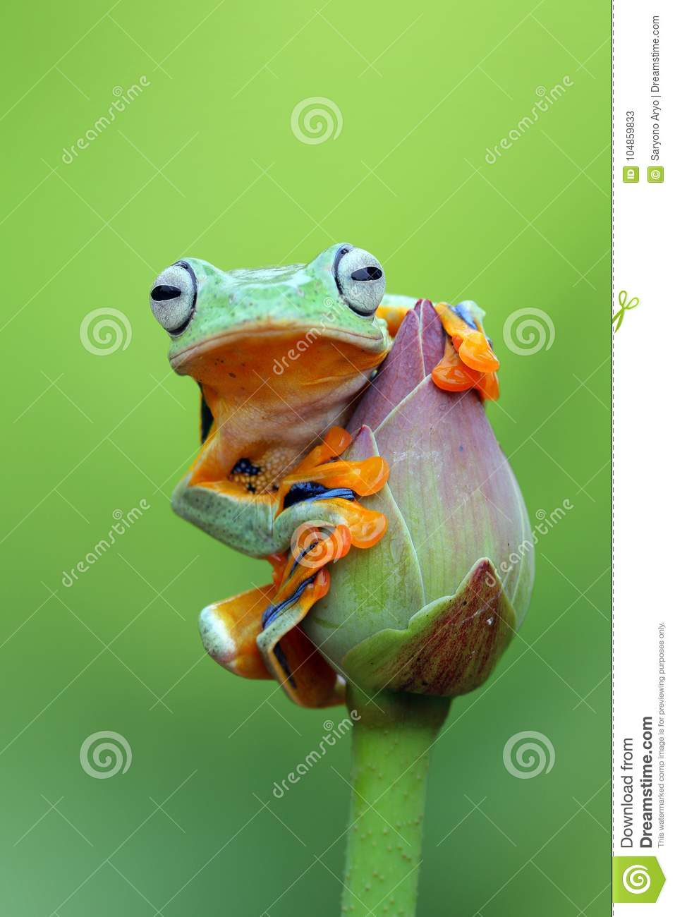 Tree frog, Flying frog on the lotus bud