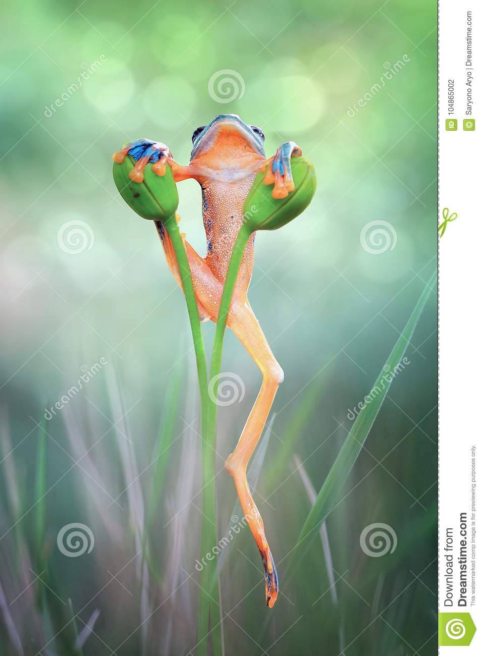 Tree frog, Flying frog on the branch