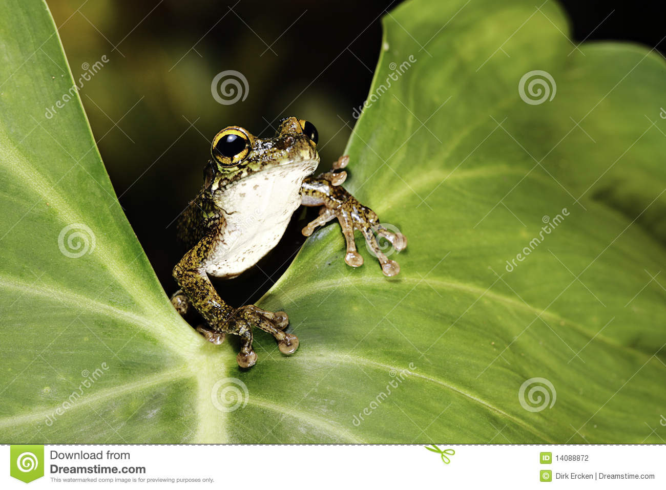 Tree frog on green leaf in tropical rainforest