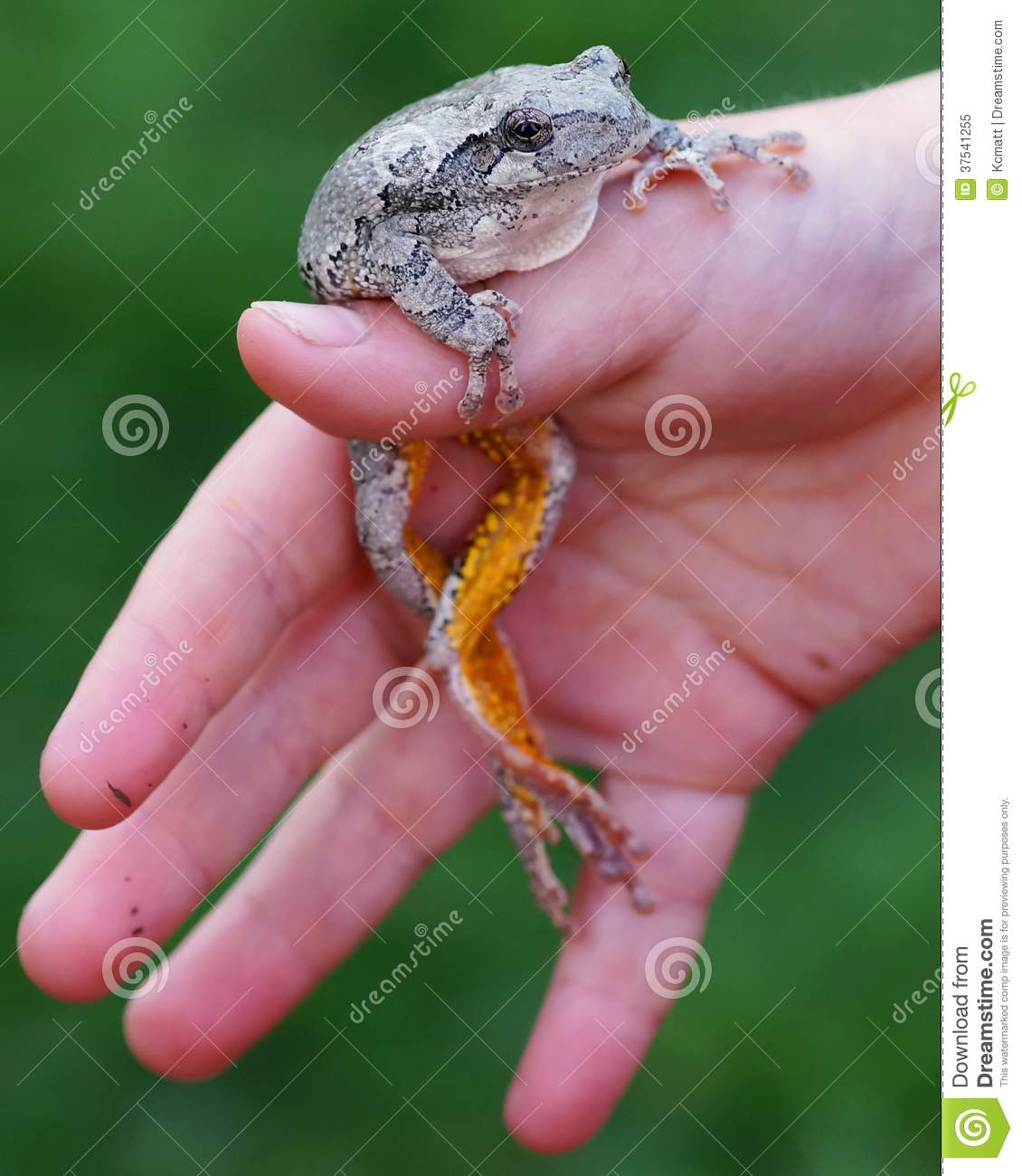 Tree Frog in hand of a boy
