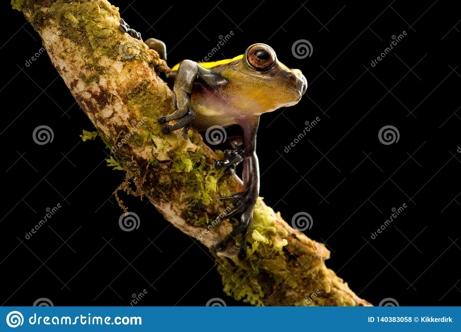 Tree frog in tropical Amazon rain forest of Colombia