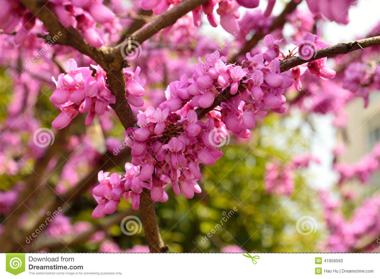 A Tree Full Of Flowers In Full Bloom In The Spring Stock Image