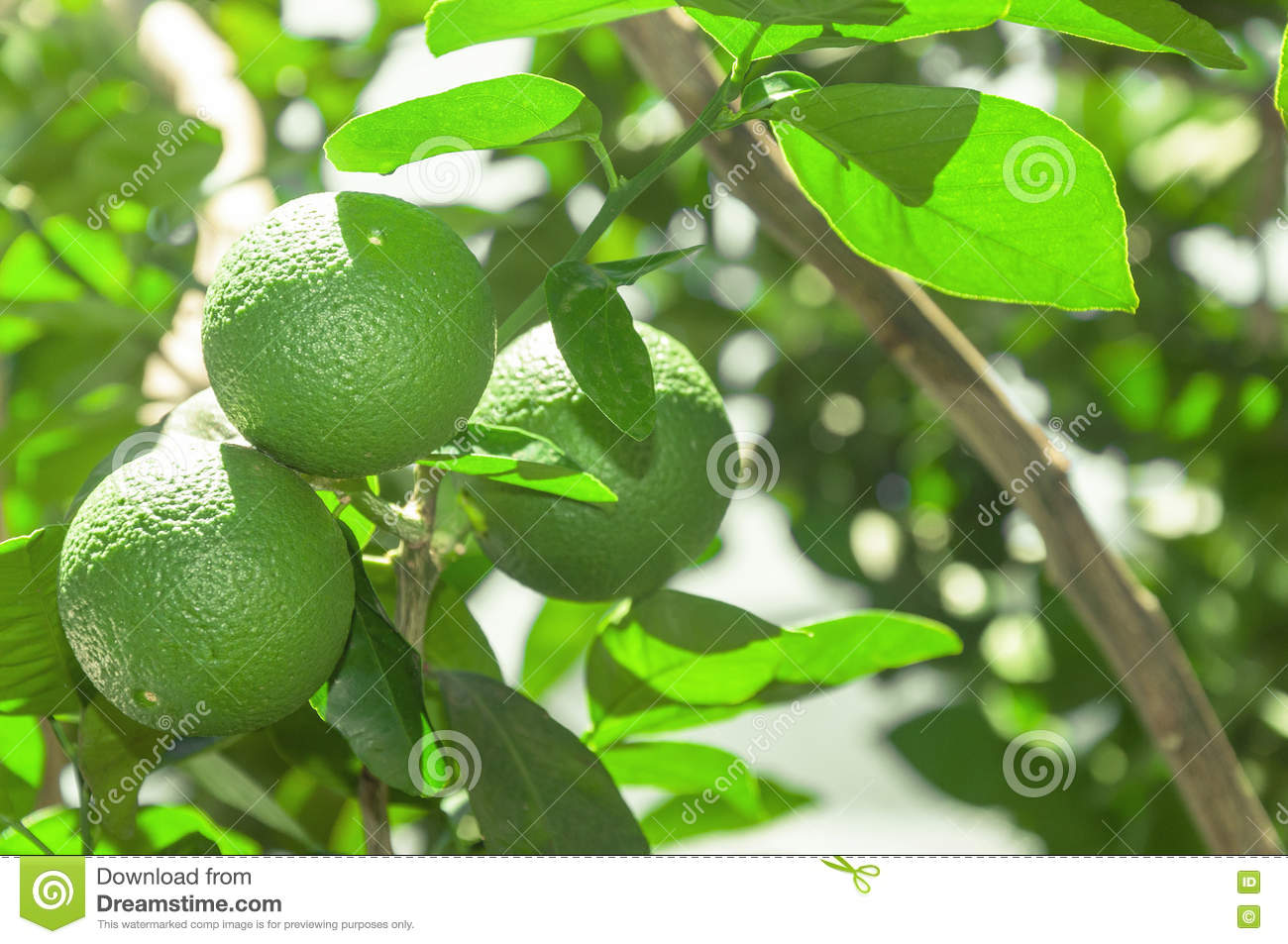 Tree with green lime fruits with leaves on the background. Organic green lemon fruit ready for harvest