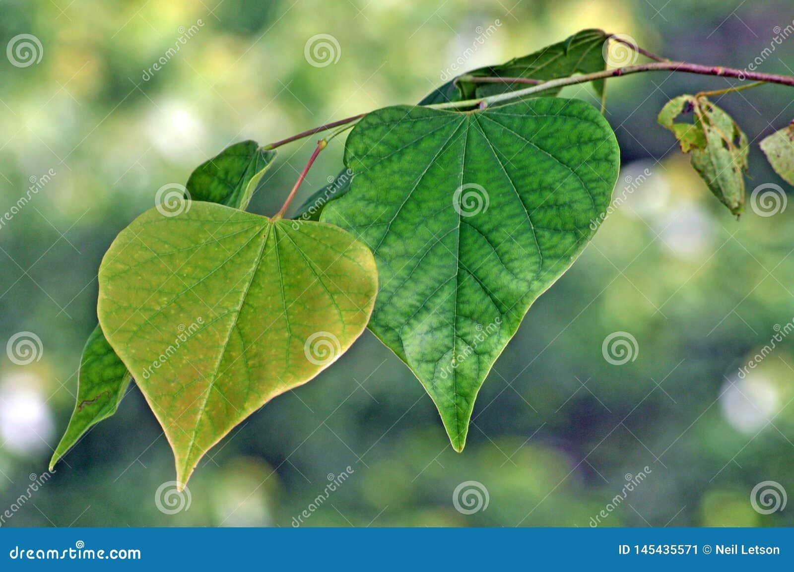 Tree Identification Eastern Redbud Tree Leaf Stock Image Image