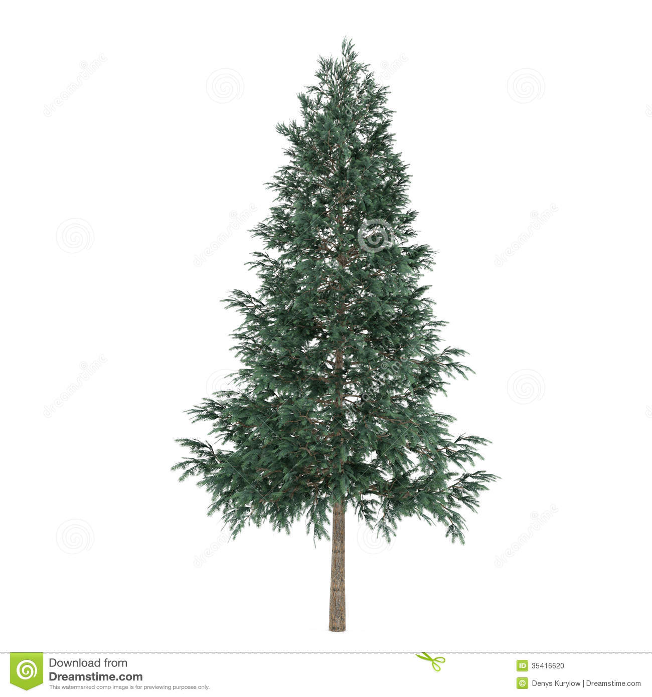 Tree isolated. Picea abies fir-tree. See my other works in portfolio.