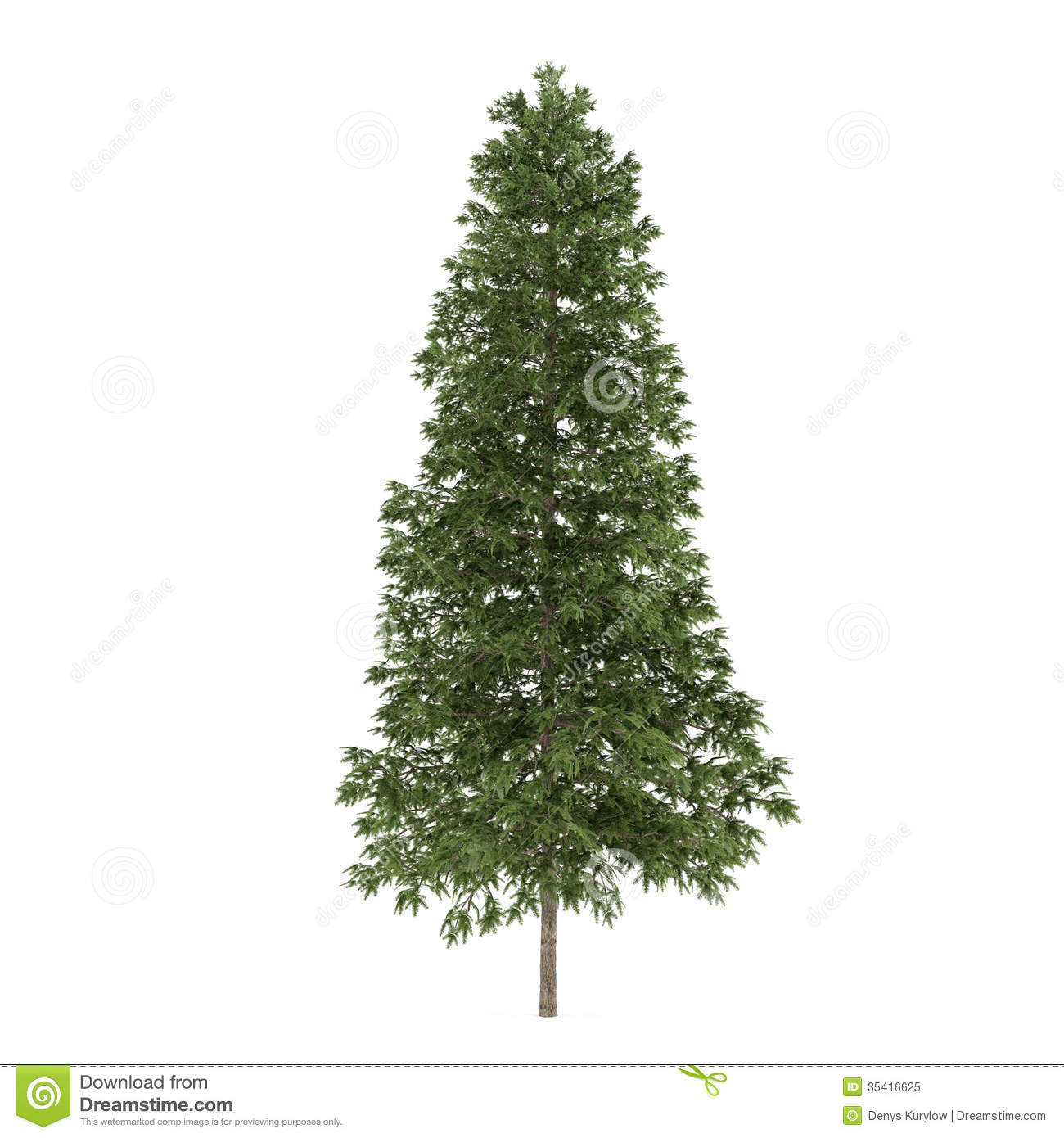 Tree isolated picea abies fir tree royalty free stock photo image