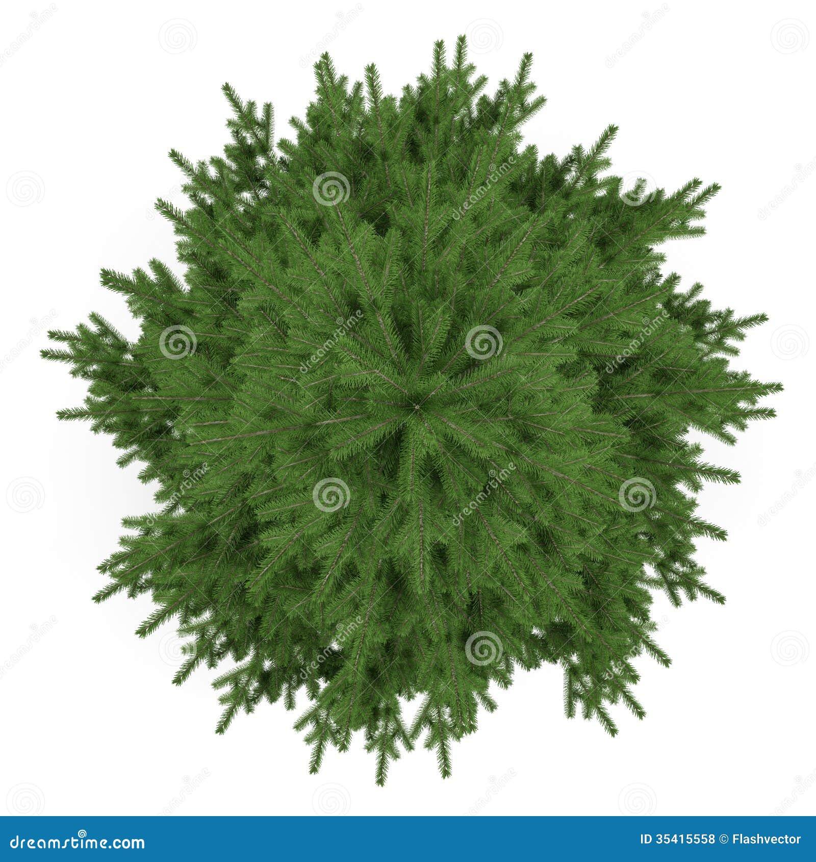 Tree Isolated Pinus Fir Tree Top Stock Illustration
