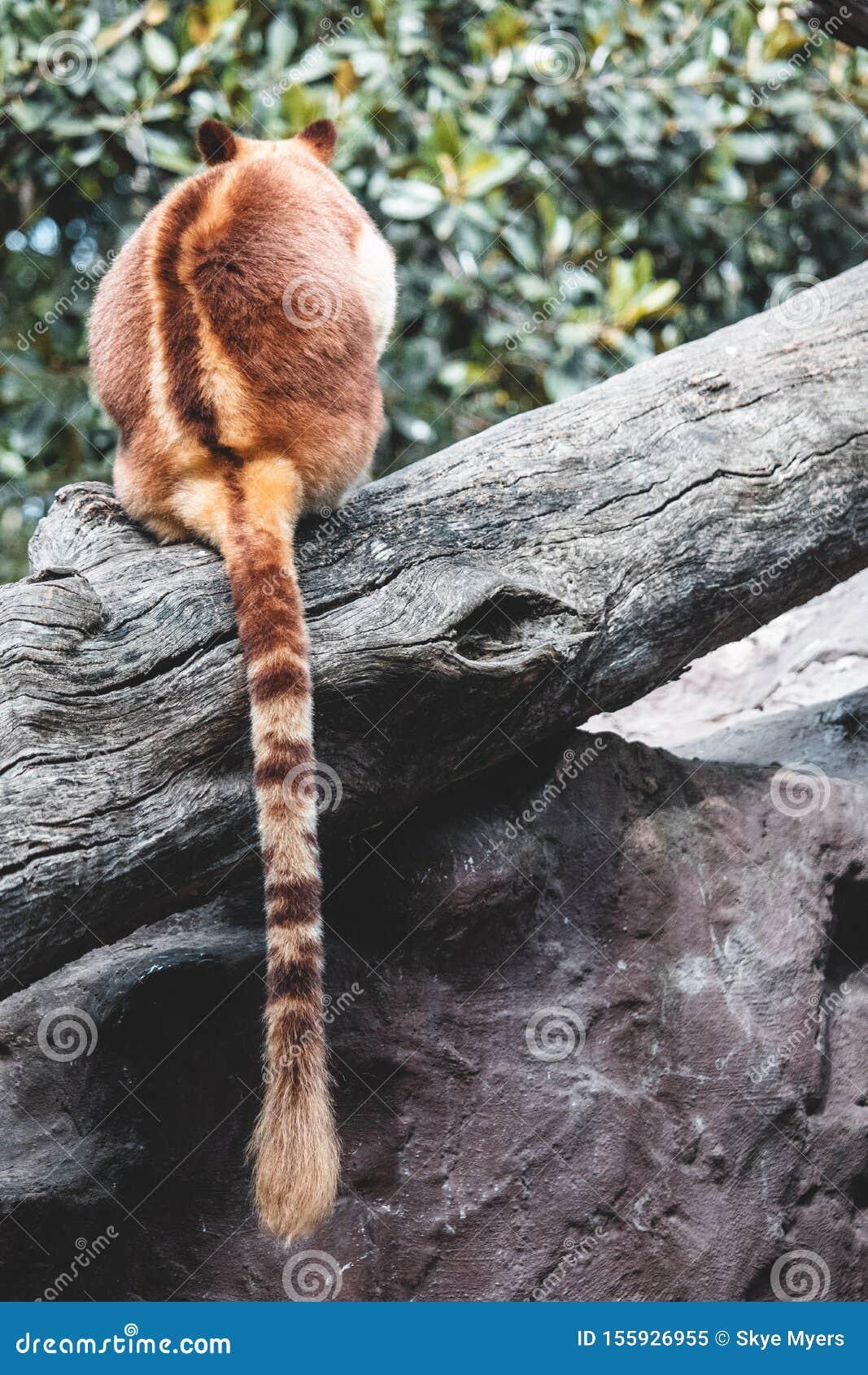 Tree kangaroo on tree