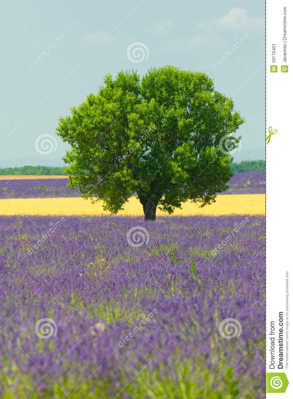 tree in lavender field provence france stock image