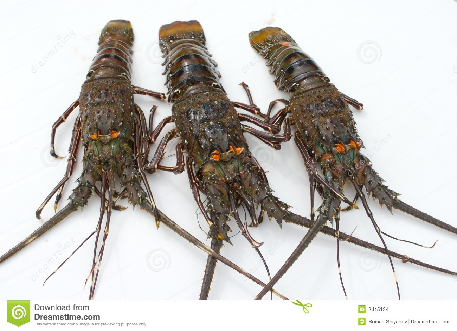 Tree lobsters stock photo. Image of dainty, bite, antenna - 2415124