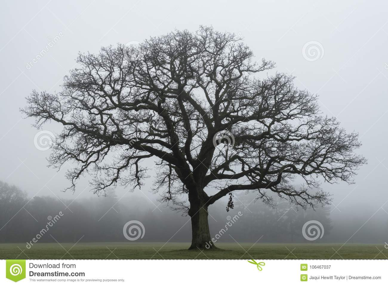 A tree on a misty day on Southampton Common