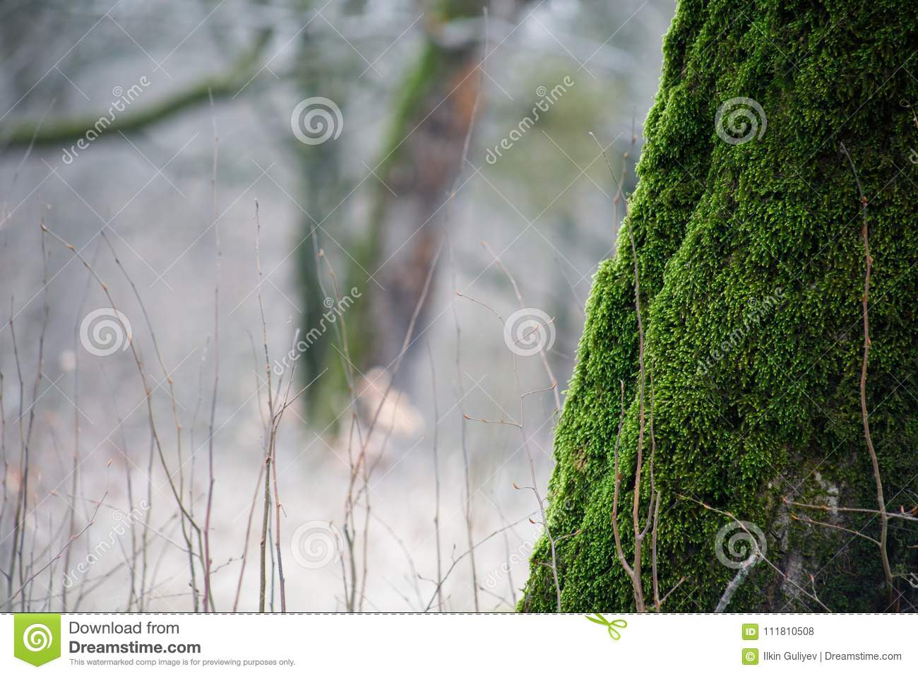 Tree With Moss On Roots In A Green Forest Or Moss On Tree Trunk ...