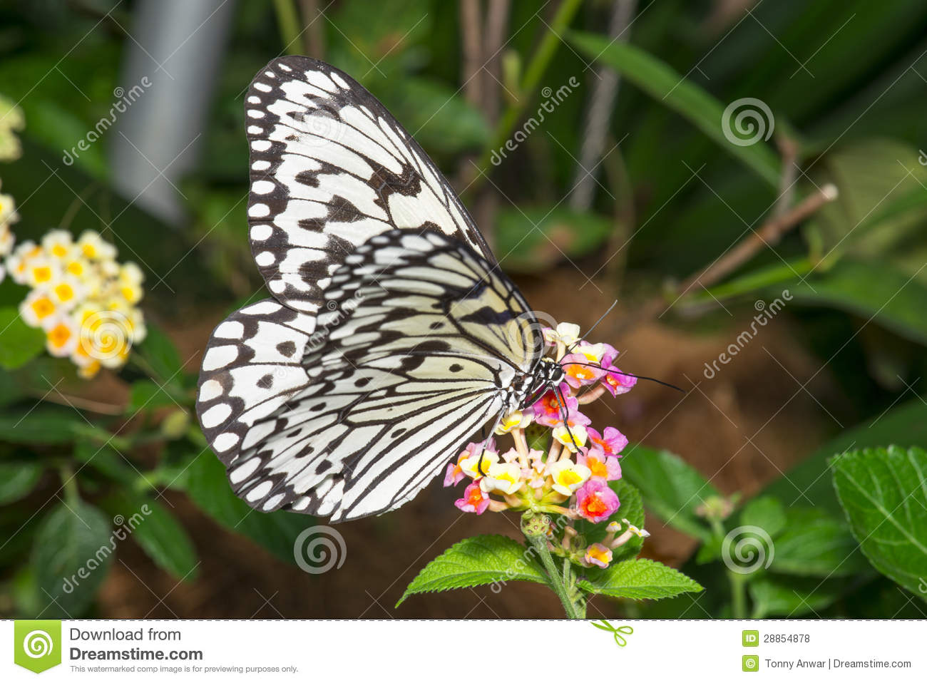 Wood Nymph Butterfly Royalty Free Stock Photos - Image ...