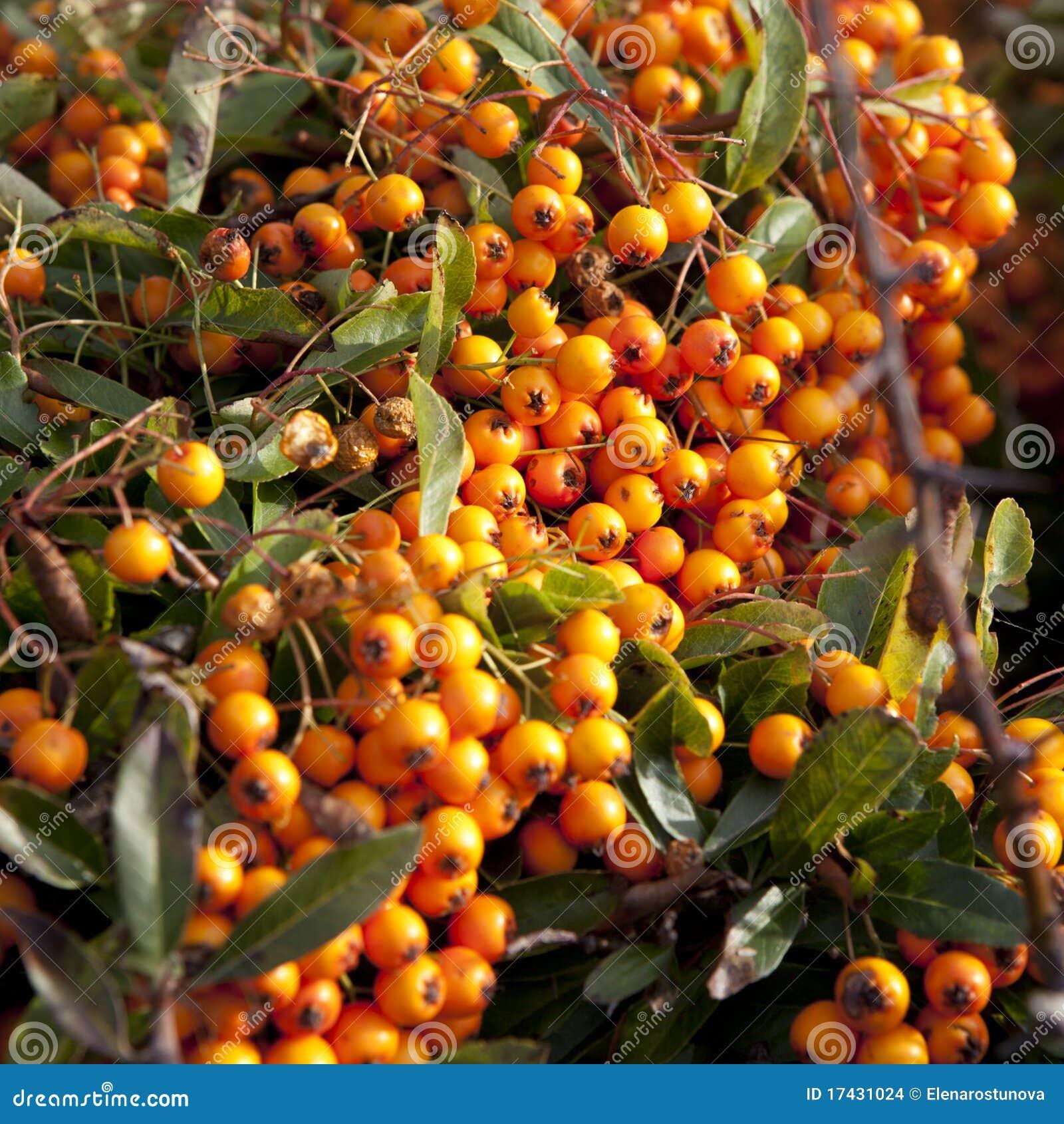 Tree With Orange Fruits