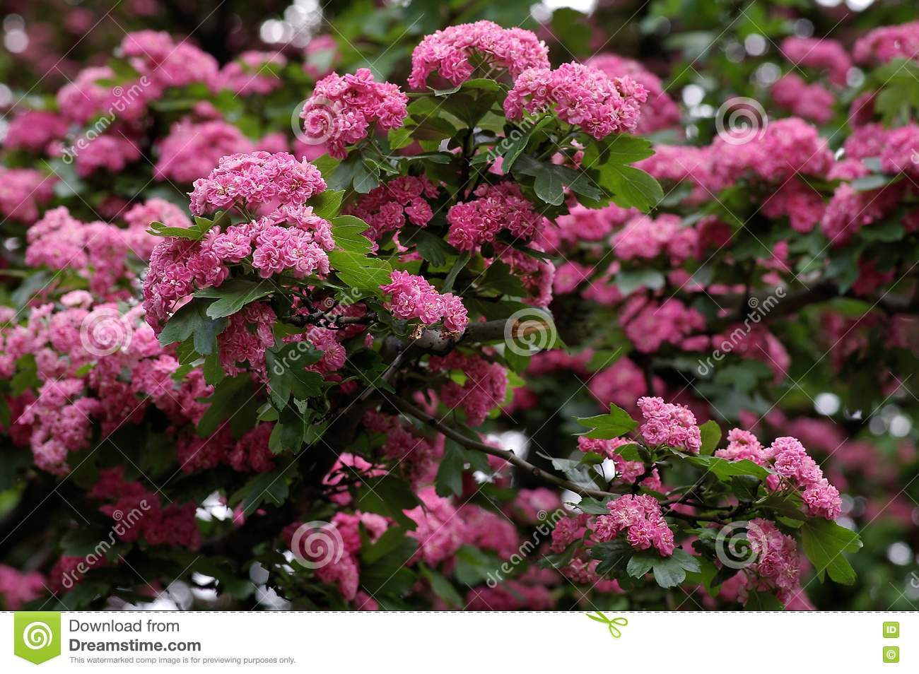 Tree With The Pink Flowers Royalty Free Stock Image