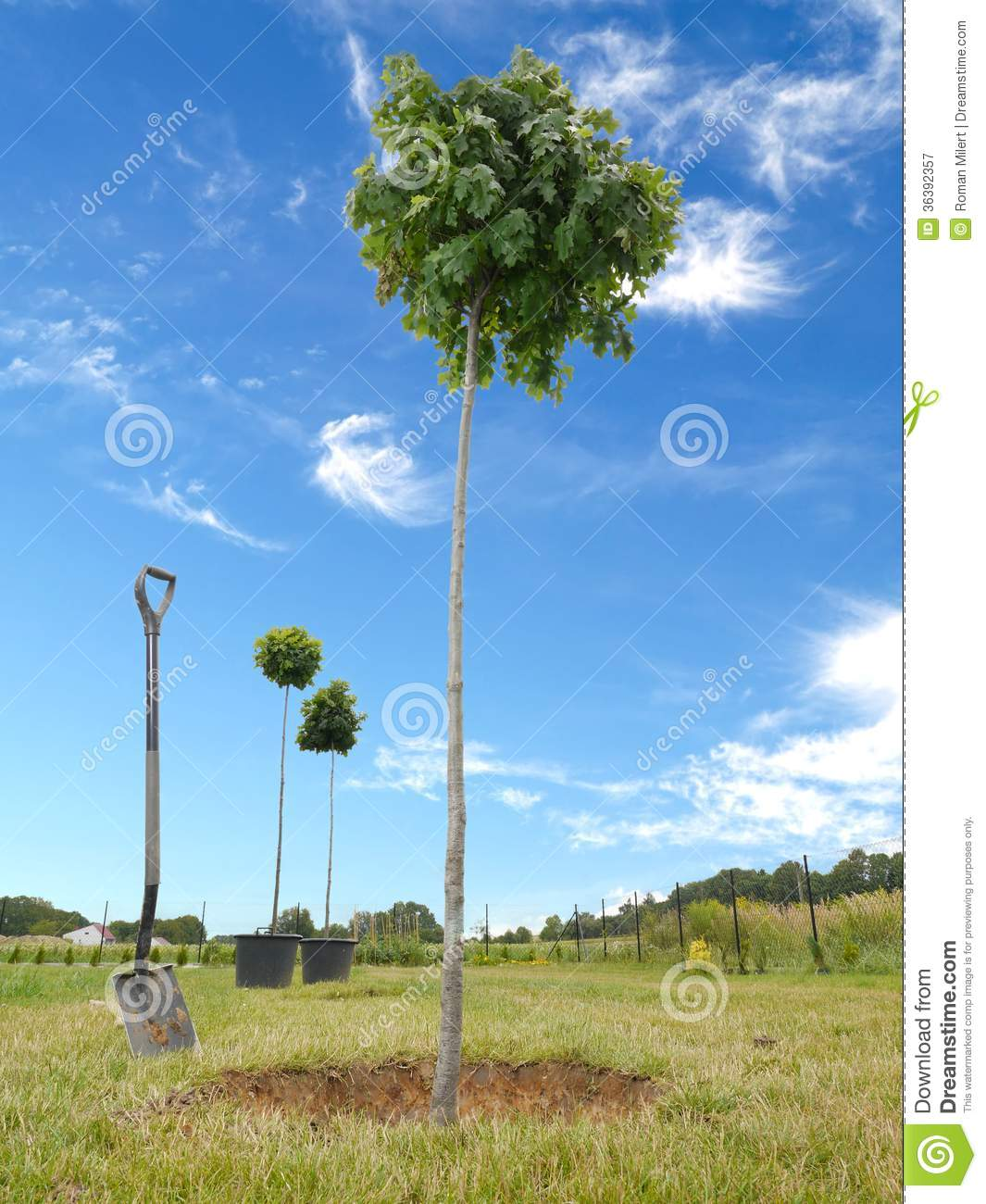 Planting An Oak Tree Best Time : Tree planting three oak trees being planted ground g