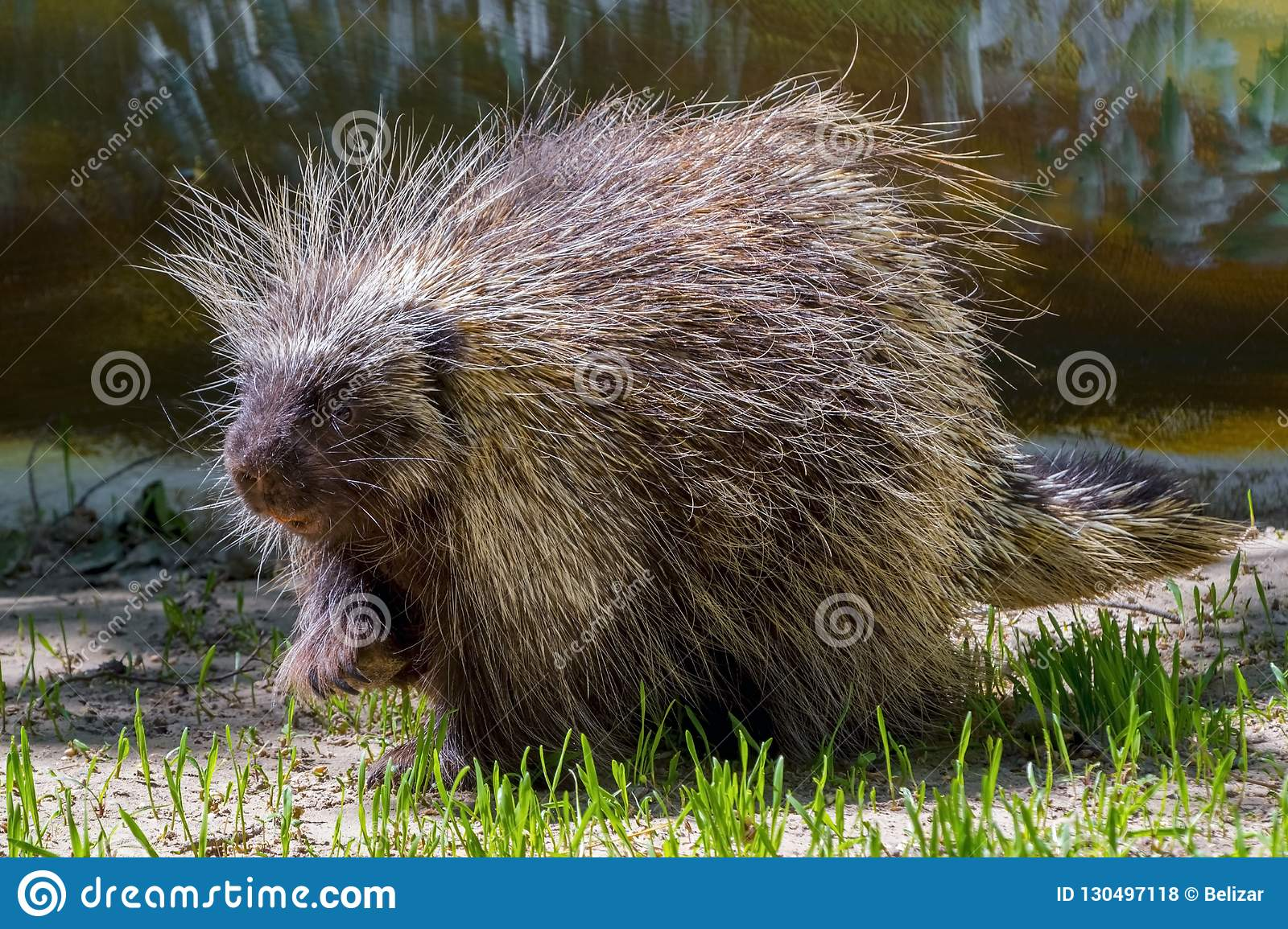 Tree Porcupine Walking