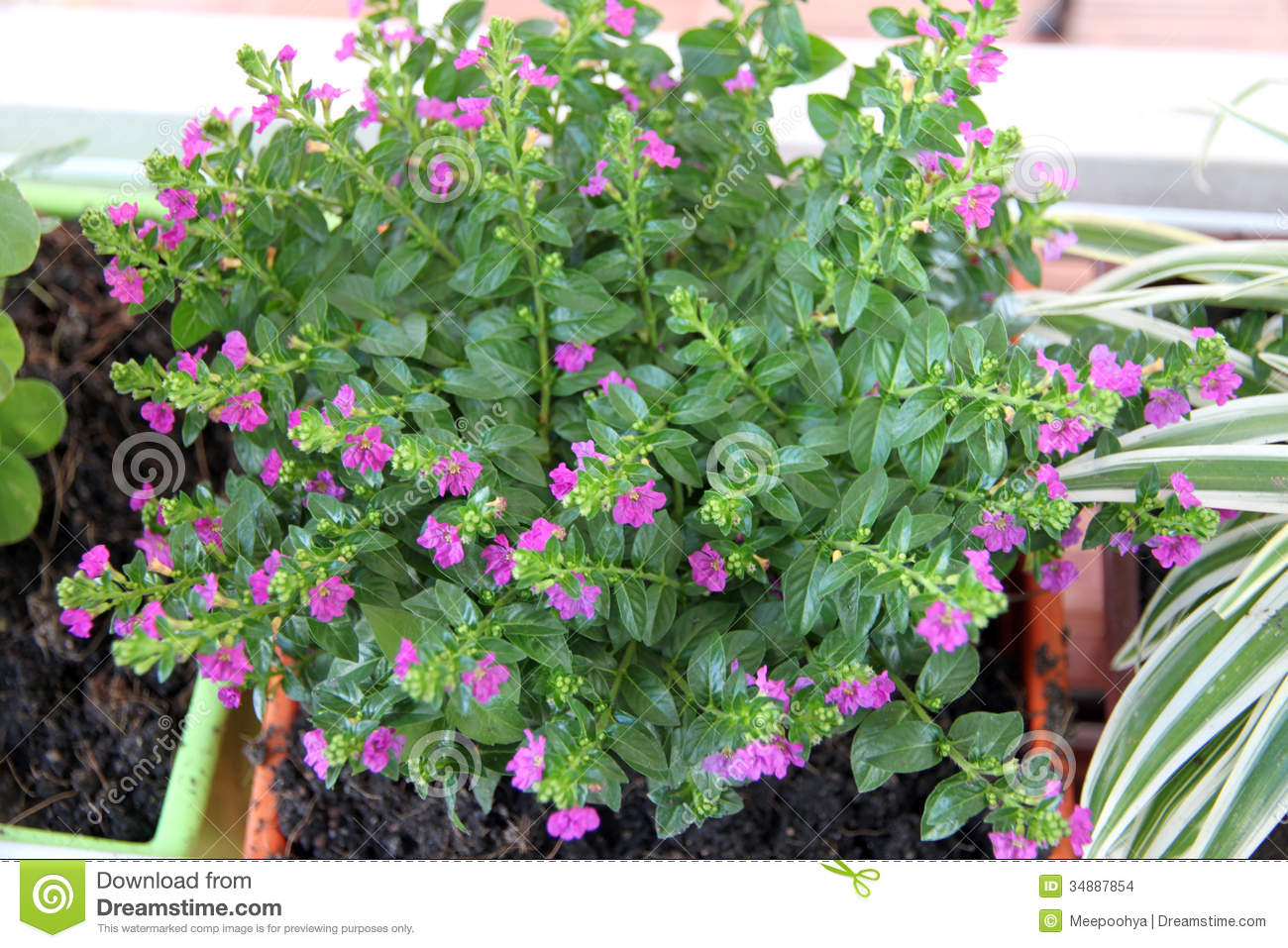Tree In Potted With Small Purple Flowers Stock Image