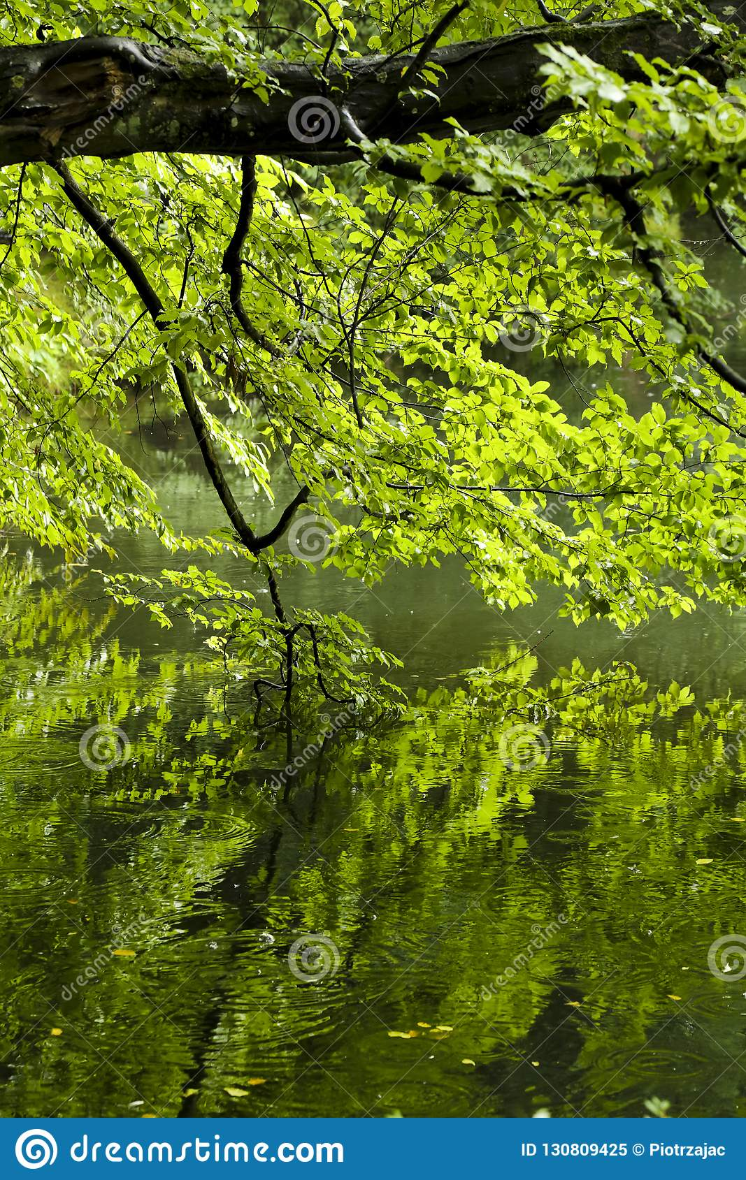 Tree in park reflected in pond