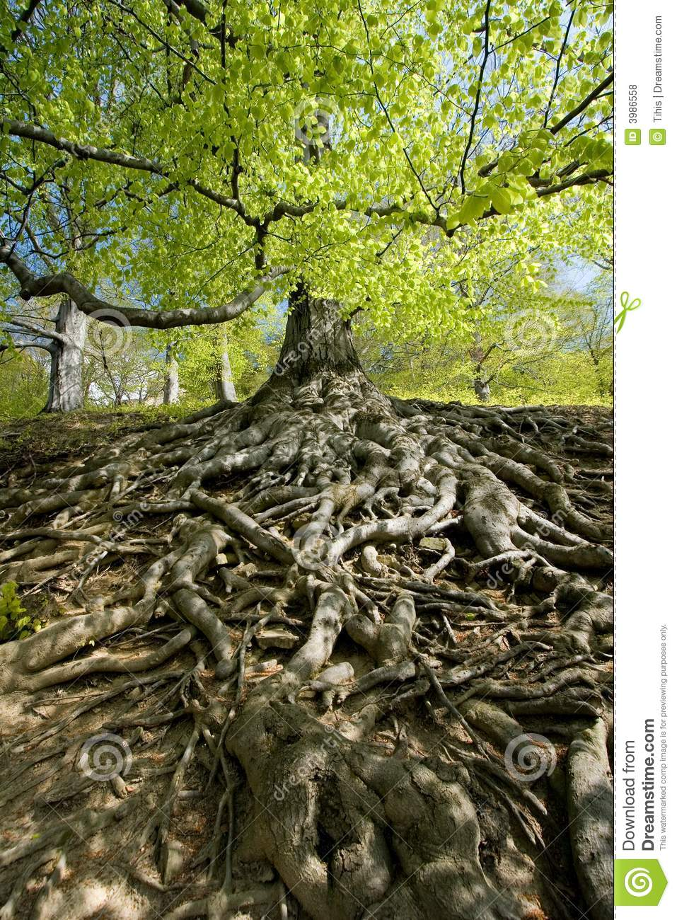 Tree Roots Stock Photo Image Of Detailed Spring