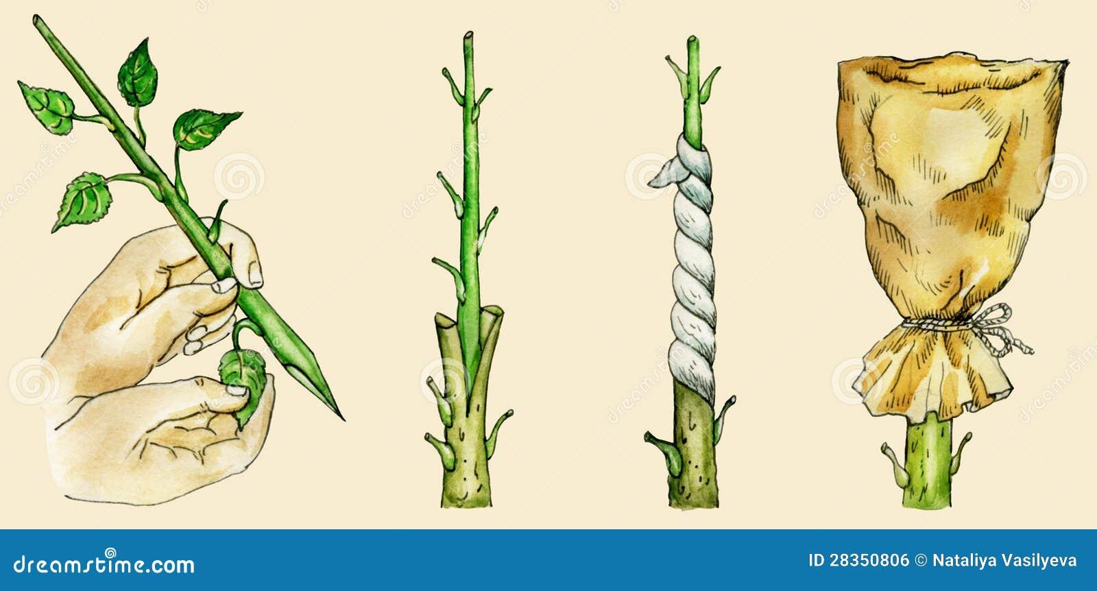 Tree`s cleft grafting methods