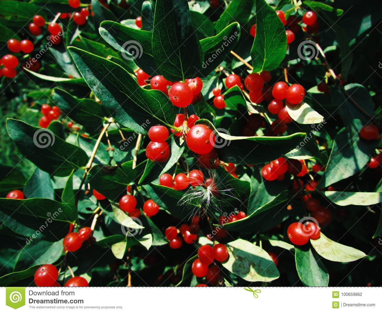 Tree With Small Red Berries Stock Photo Image Of Grow Colorful