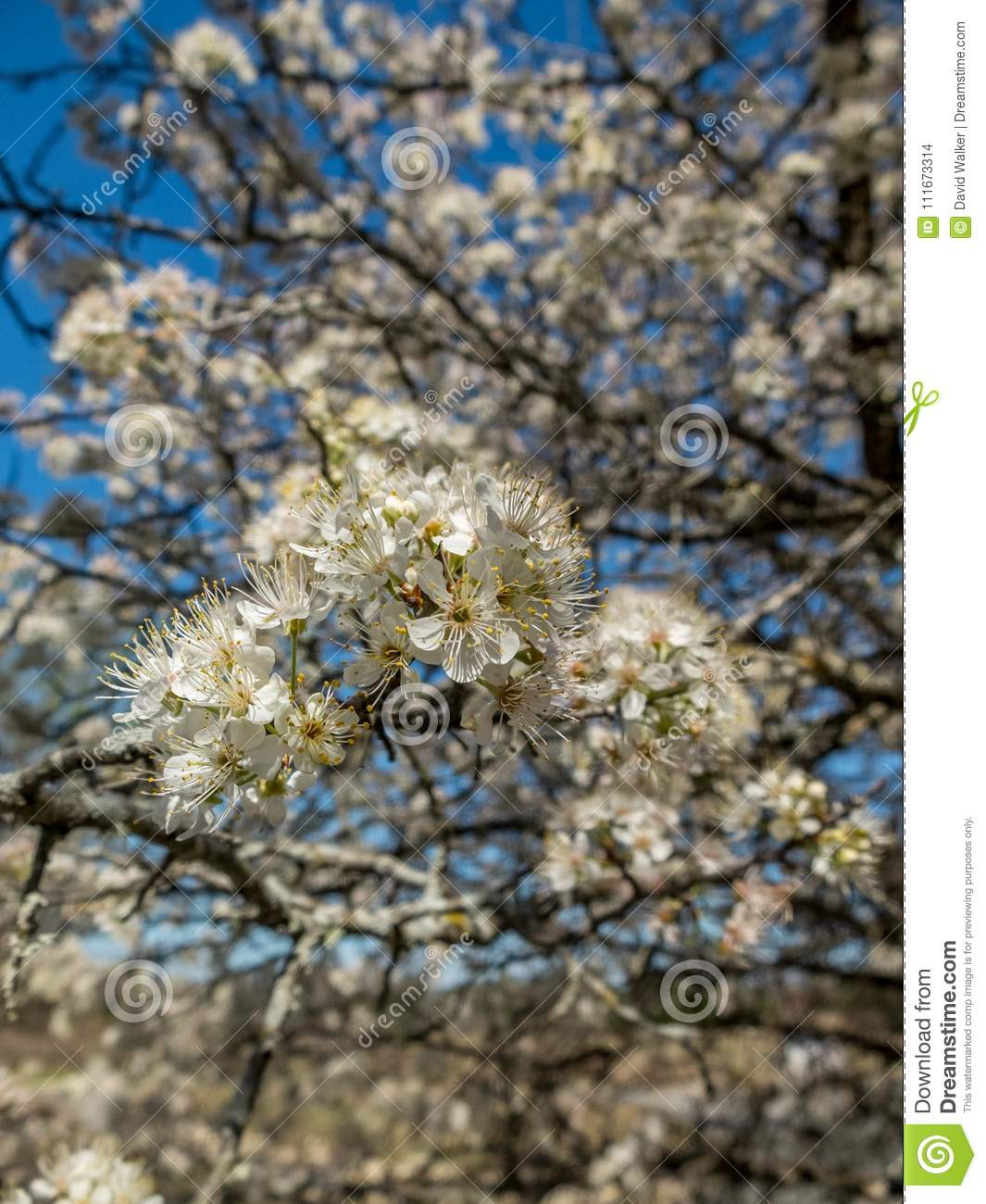 Flowering tree in spring stock photo image of pomiculture 111673314 a tree with small white blossoms in texas in the spring mightylinksfo
