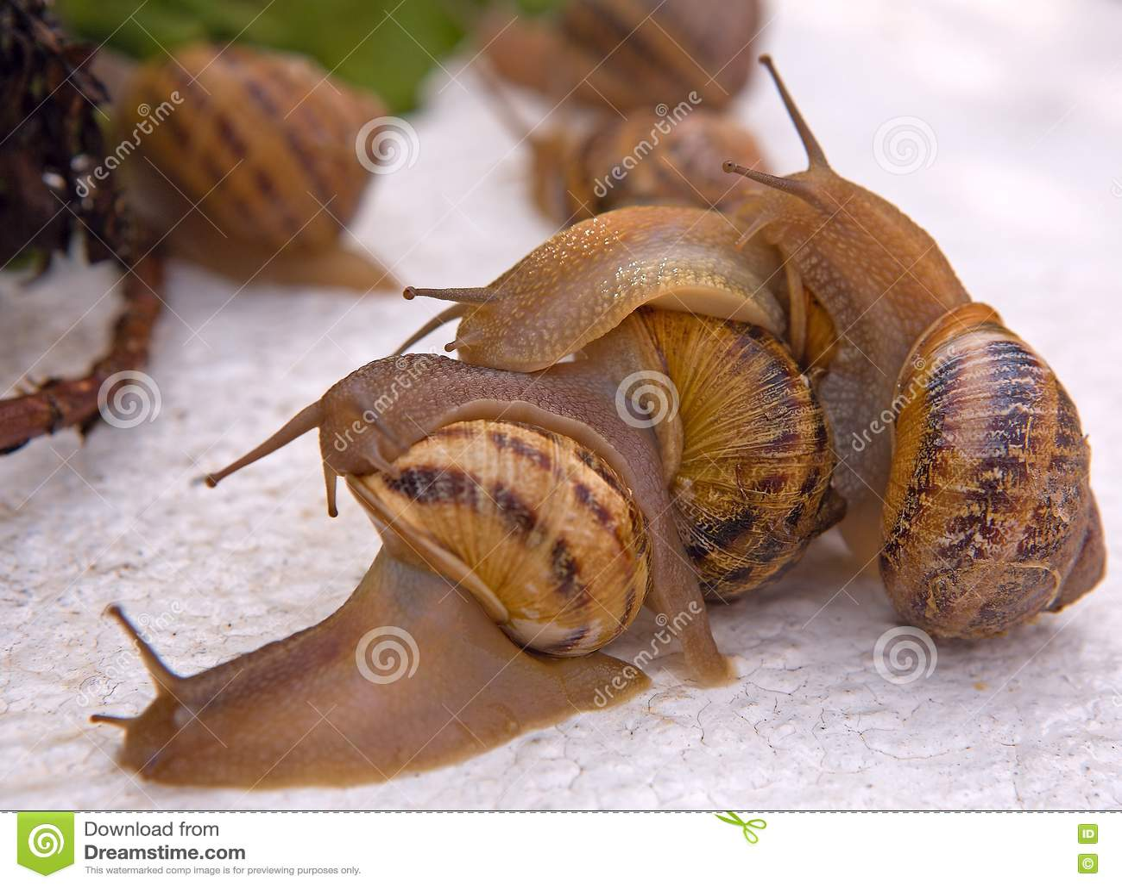 Tree snails after rain