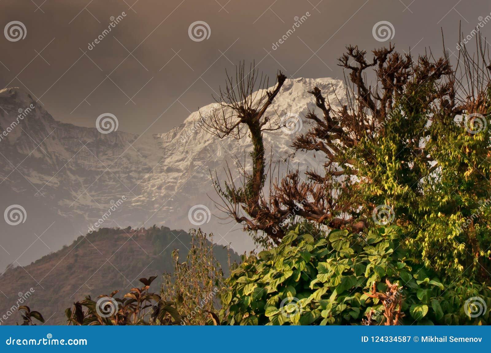 Tree and snowy mountain., trekking to the Annapurna
