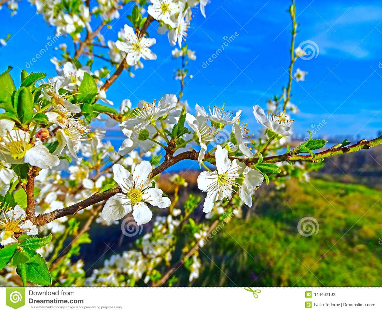 Tree Spring Stock Photo Image Of Nature Flower Header 114462102