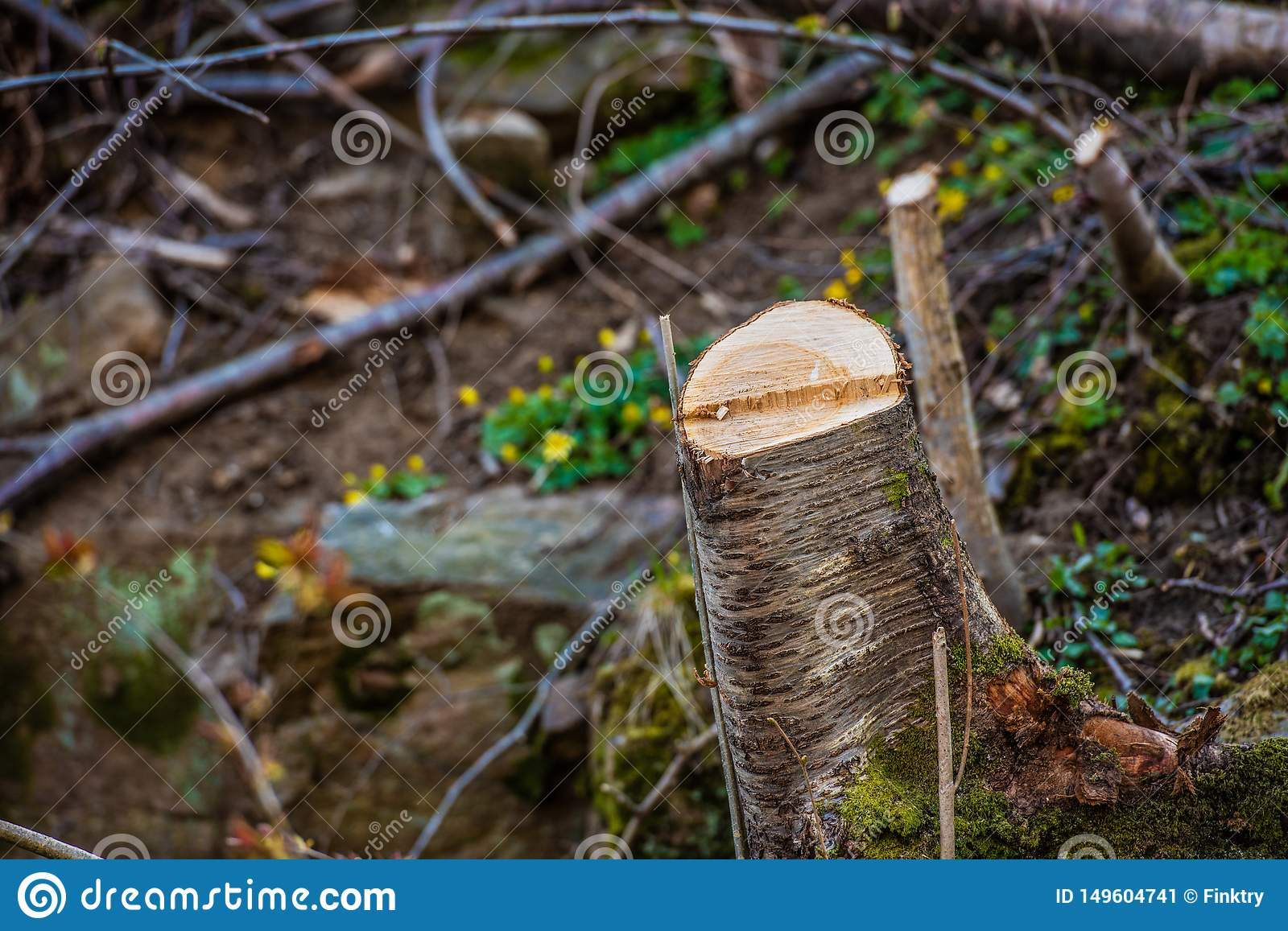 Tree stub in a forest that has been cleared