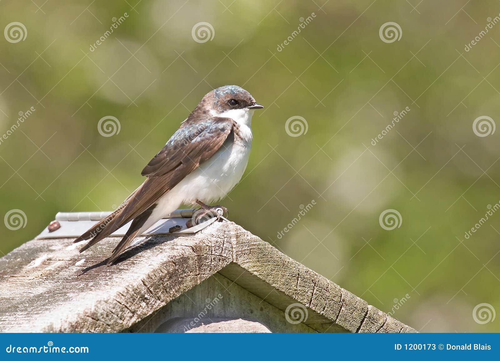 Tree Swallow_4760-1S