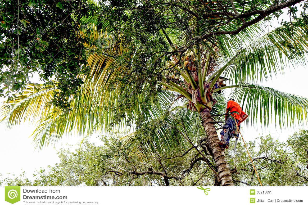 Tree Trimmer On Palm Tree Stock Image Image 35215631