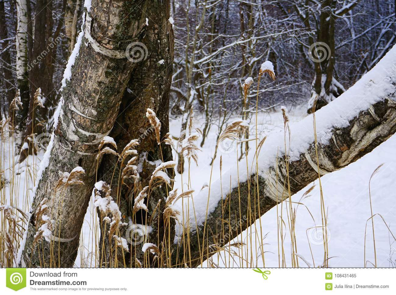 tree trunk herbs forest snow winter cold day outdoors