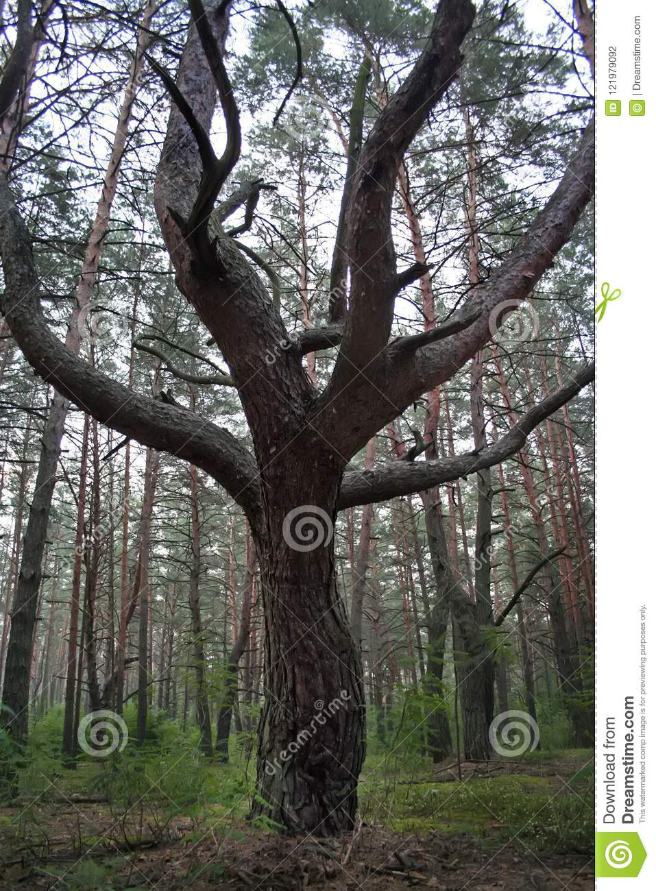 Tree trunk with branching in the forest