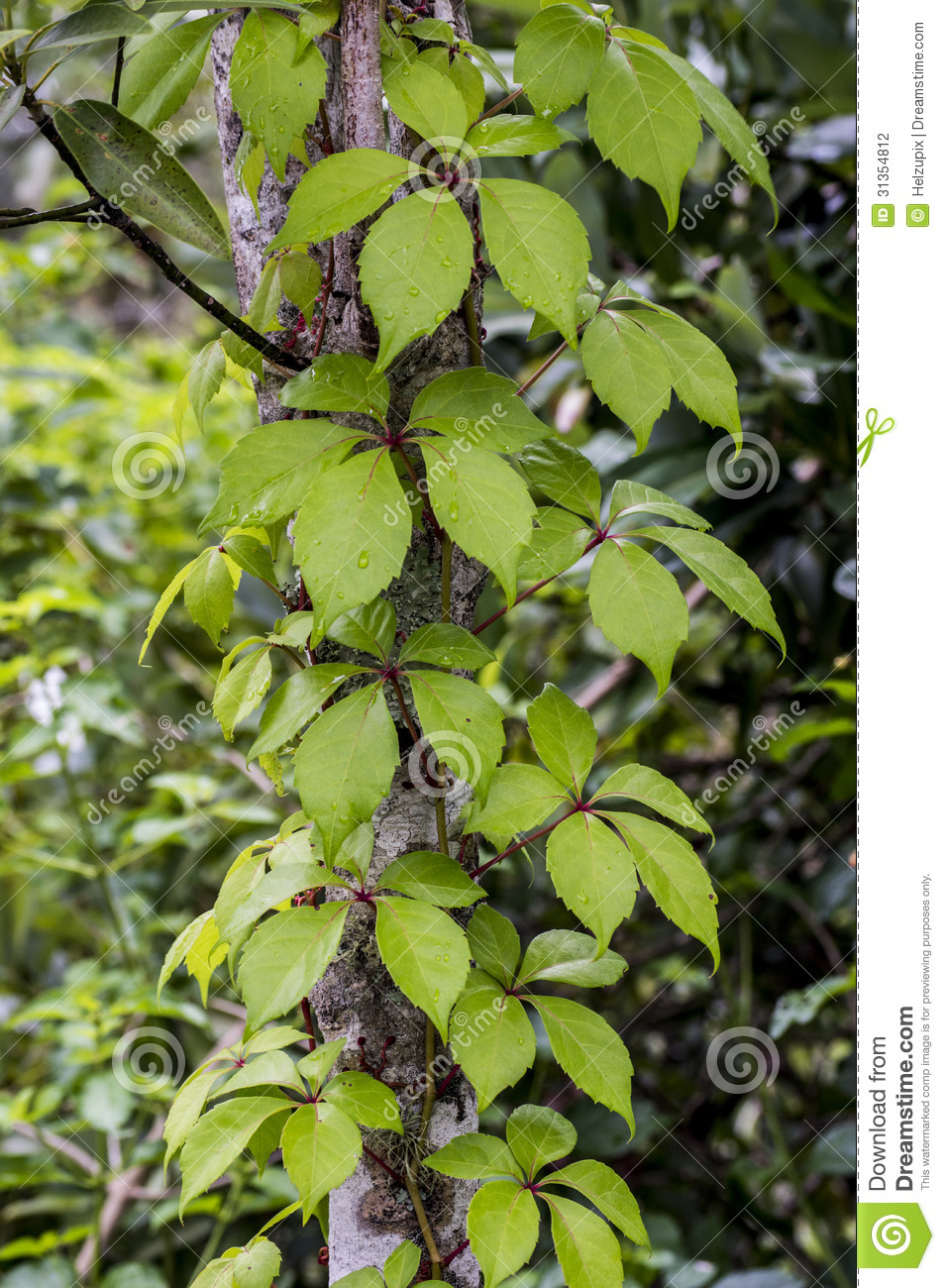 Tree trunk with a climbing plant stock photo image 31354812 - Fir tree planting instructions a vigorous garden ...
