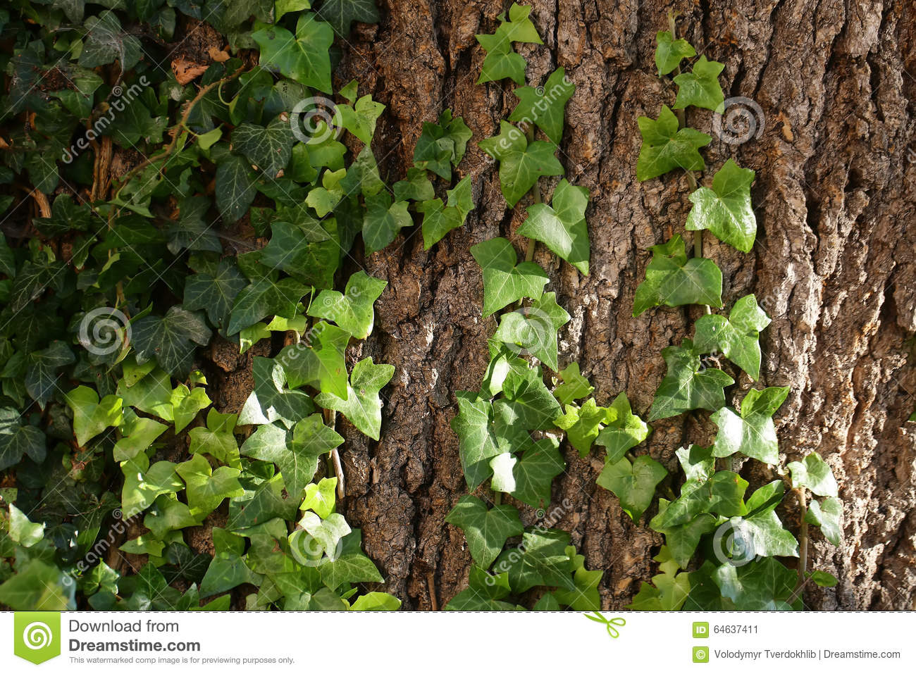 Tree trunk covered by ivy stock image. Image of growing - 64637411