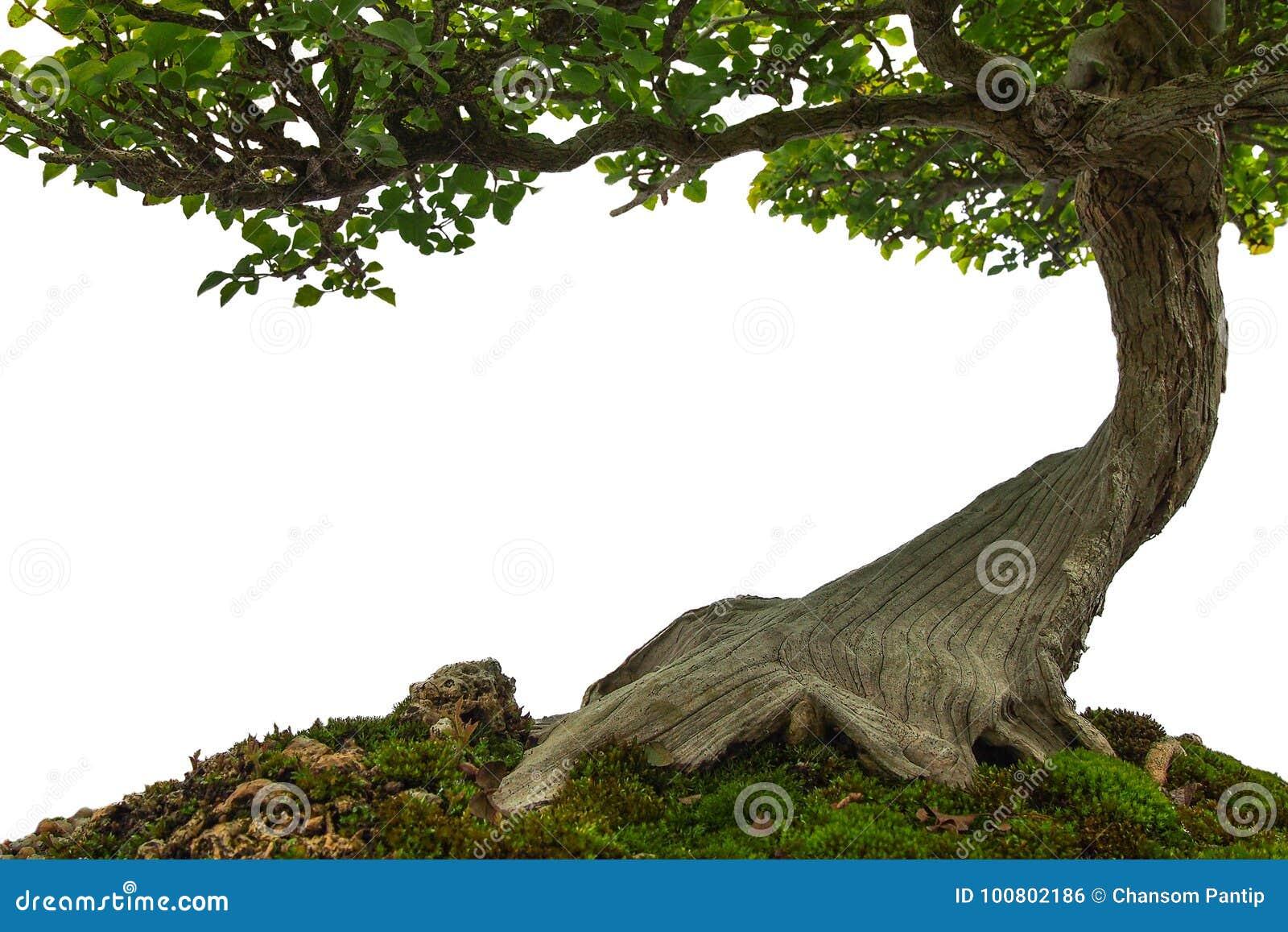Tree Trunk On Moss Covered Ground Miniature Bonsai Tree On