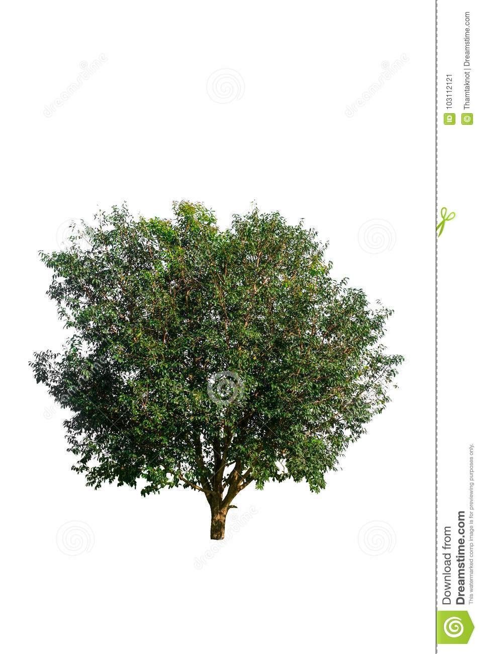 Tree on a white isolated background can be used in a variety of applications on the design.