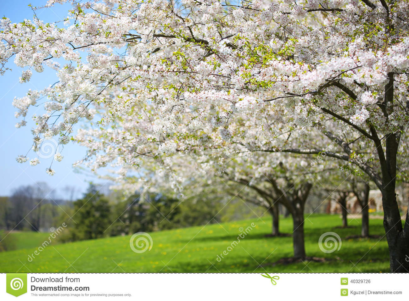 Tree With White Spring Blossoms Of Cherry In The Garden