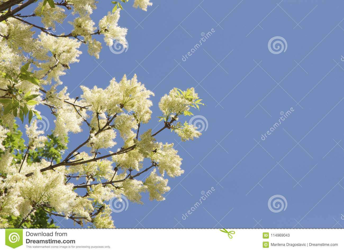 Tree with yellow flower with blue sky in background stock image download tree with yellow flower with blue sky in background stock image image of flower izmirmasajfo