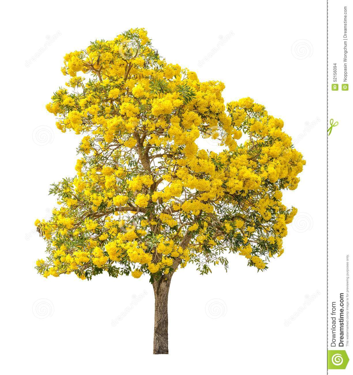 Tree With Yellow Flower Isolated Stock Photo Image Of Leaf Isolated 52156094