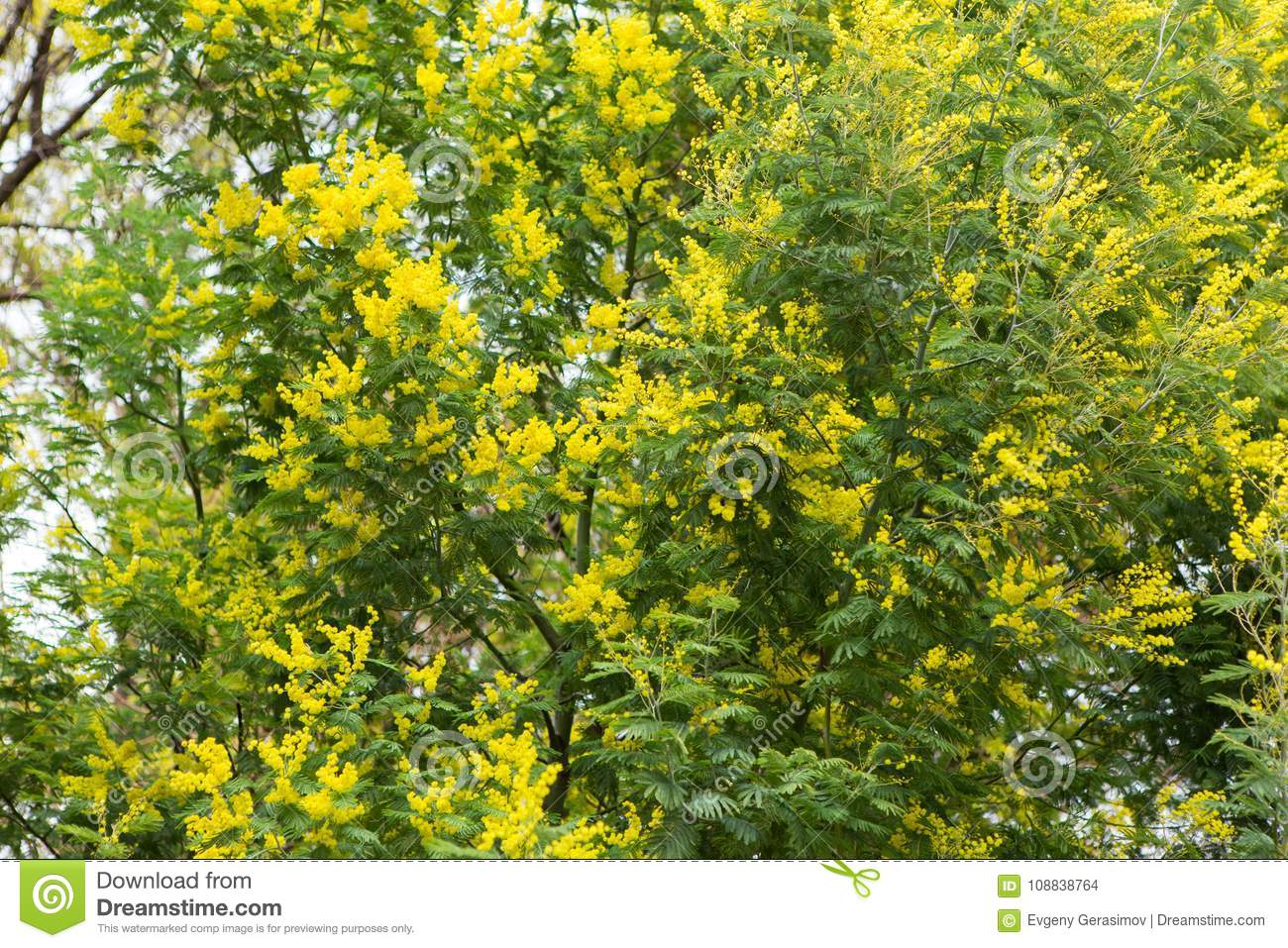 Tree Of Yellow Mimosa Stock Photo Image Of Yellow Summer 108838764