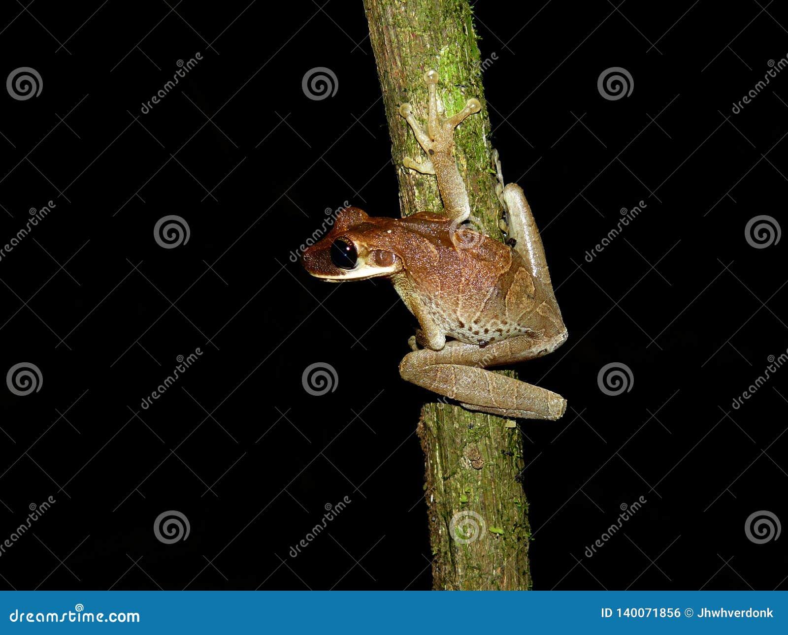 Treefrog遇到了在一nightwalk期间在密林