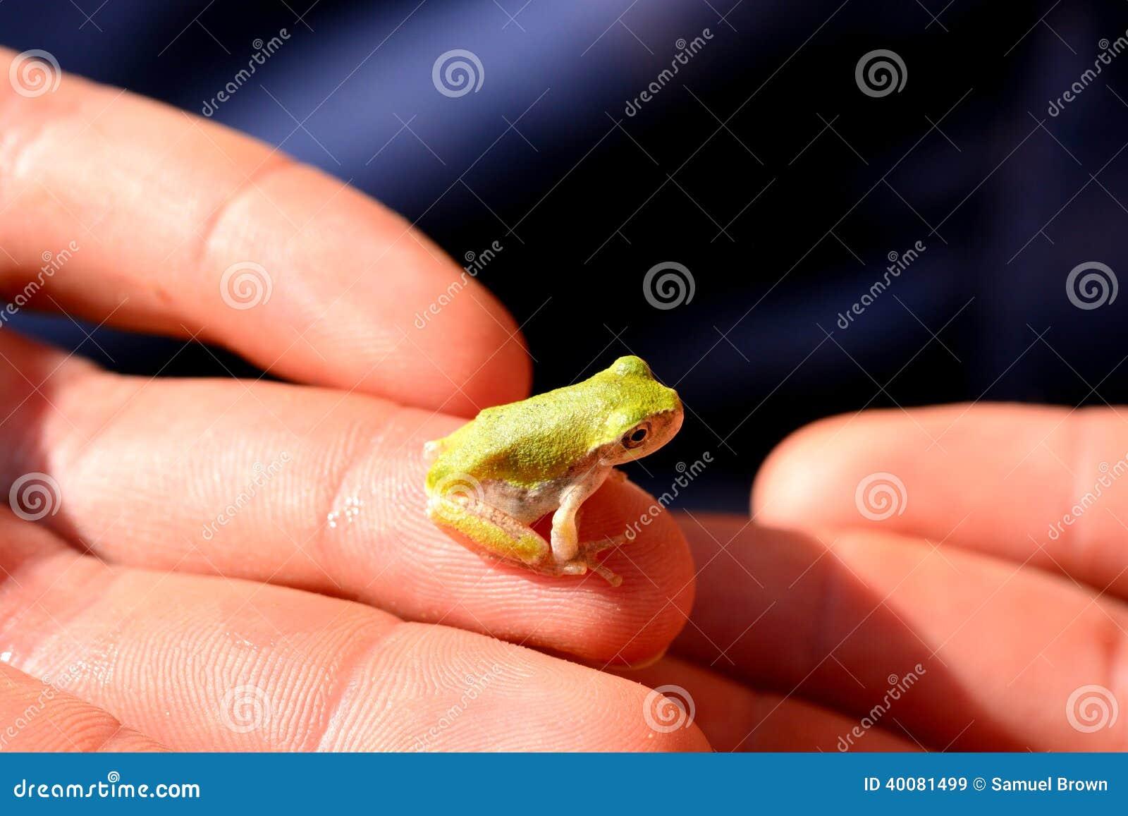Treefrog do bebê (Hyla versicolor)