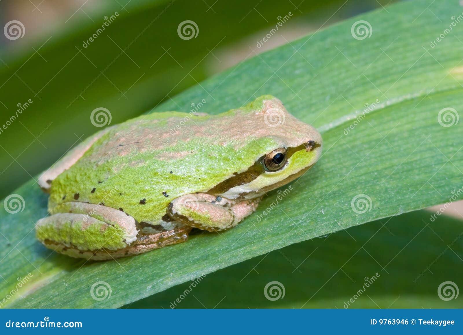 Treefrog Pacifique