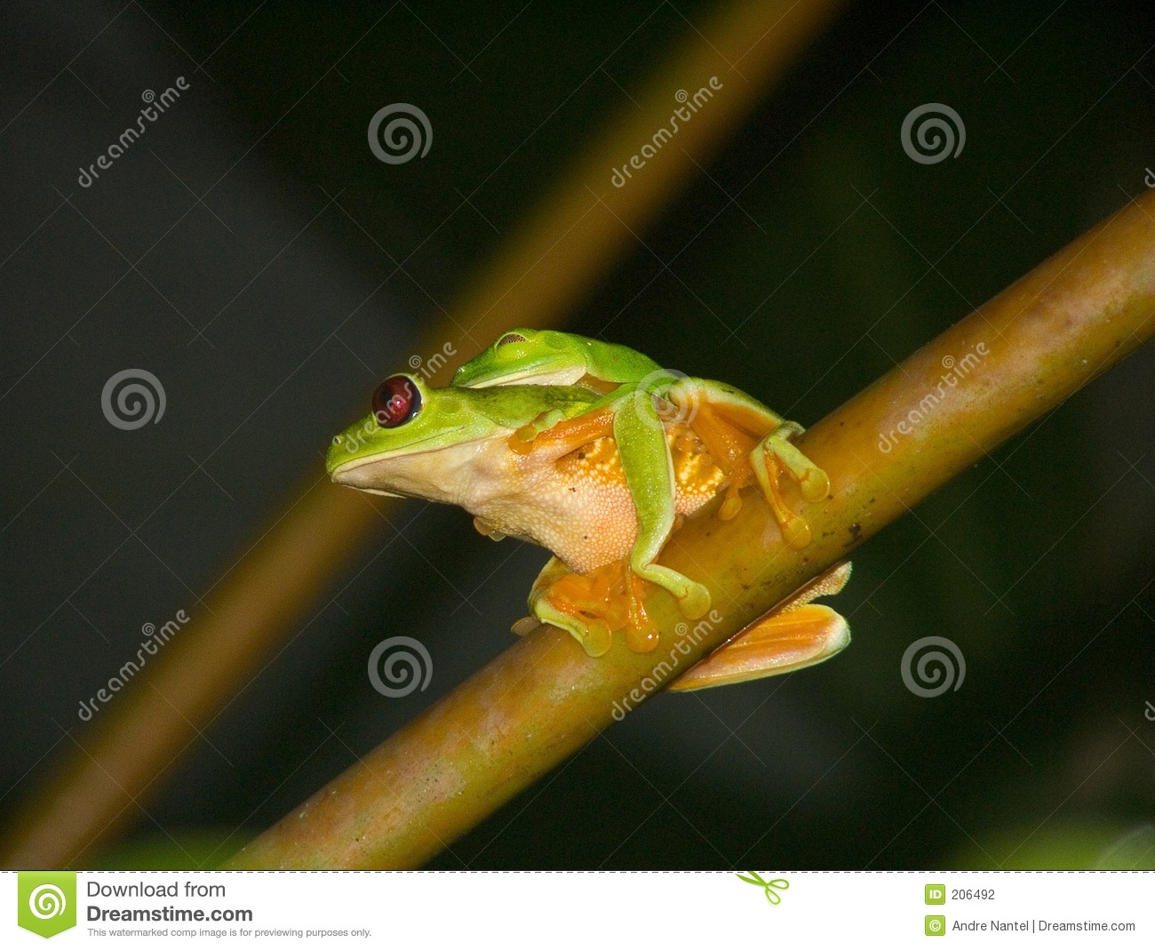 Treefrogs Red-eyed