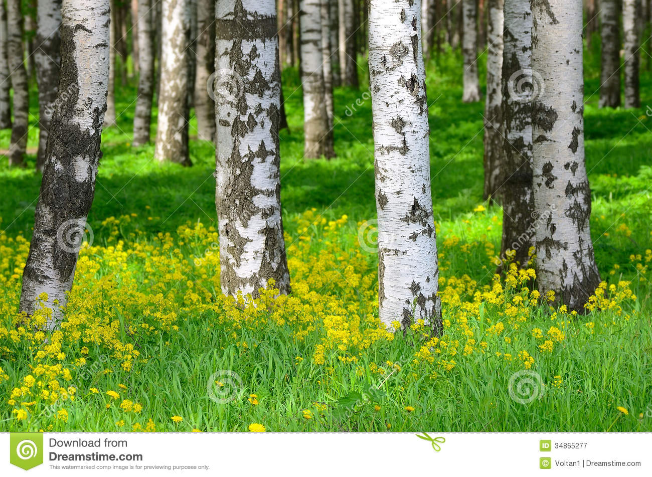 Trees in the birch wood stock image of landscape